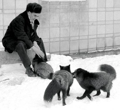 File:Belyaev silver-foxes.jpg