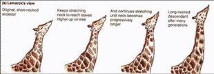 Giraffelamarck