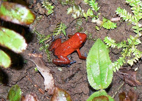 File:Strawberry dart frog.jpg