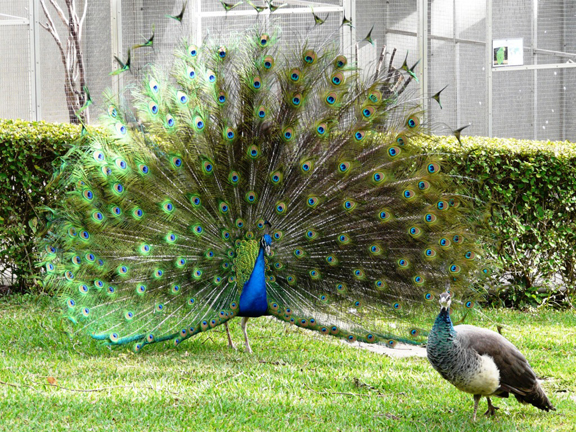 File:Peacock display.jpg