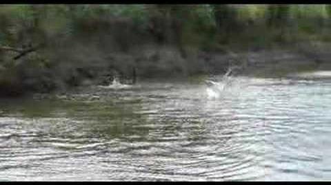 Wild Jumping Carp On Illinois River-0
