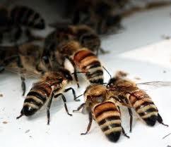 File:Honeybees.jpeg