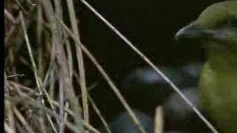 David Attenborough - Animal behaviour of the Australian bowerbird - BBC wildlife-0