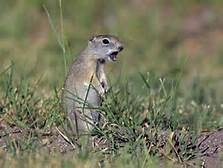 File:Beldings Ground Squirrel.jpg