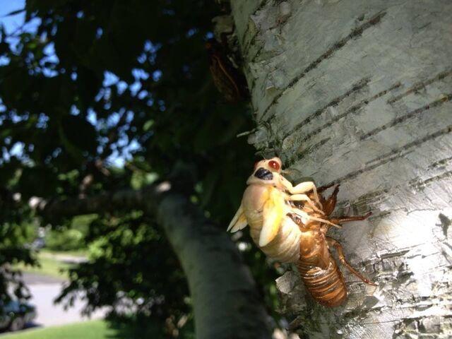 File:Cicadas.jpeg