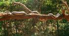 Wikia DARP - Harald Hardrada - reticulated python