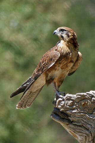 File:Brown Falcon.jpg