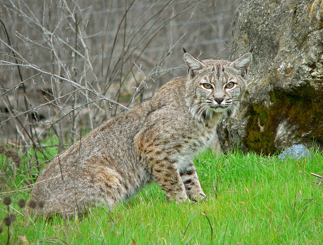 File:Bobcat2.jpg