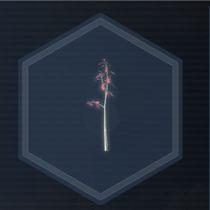 Sakura Seed