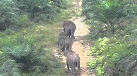 Elephants in Bukit Tigapuluh Ecosystem, inside oil palm plantation PT Agro, Teluk Kayu Putih