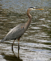 Great blue heron 6488c tfk