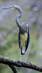 File:White-bellied-Heron.jpg