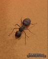 Black Garden Ant.png
