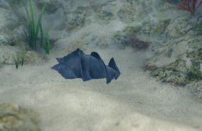 Japanese Bullhead Shark Egg
