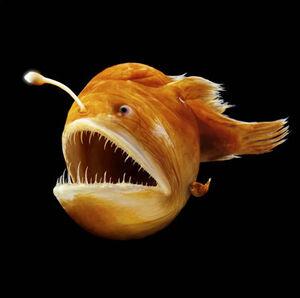 Humpback anglerfish 2