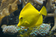 Yellow Tang -3