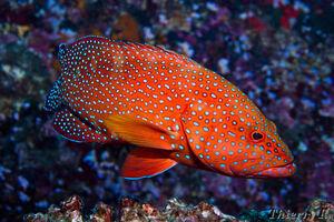 Coral cod 1