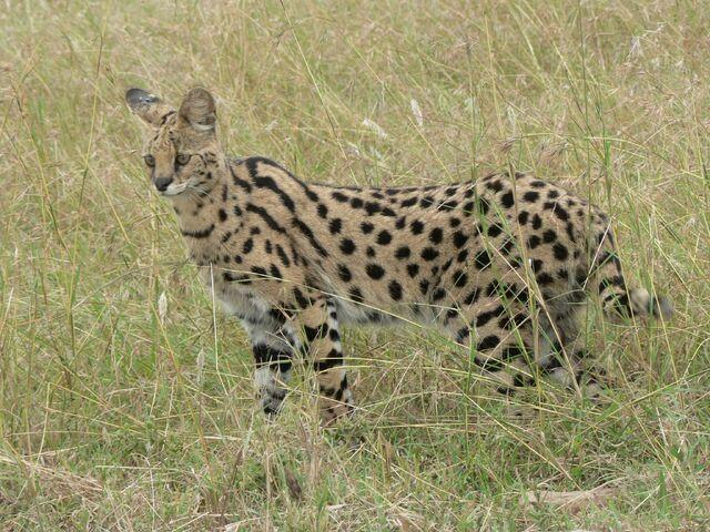 File:19 Serval.jpg
