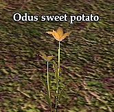 Odus sweet potato (Visible).jpg