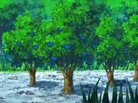 EP563 Árboles de bayas Aranja