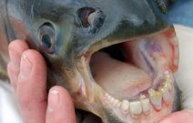 4255 vampire-fish-02 04700300