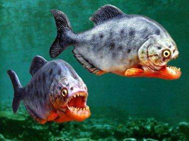 File:Piranha photo.jpg