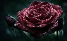 Unconscious-beauty-is-symbolized-by-both-dark-red-and-deep-burgundy-roses