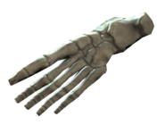 Right foot bones