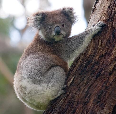 File:Koala climbing tree-Photo by DAVID ILIFF. License- CC-BY-SA 3.0.jpg