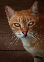 Kucinta, Singapore street cat