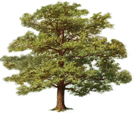 File:Tree Of Life.png