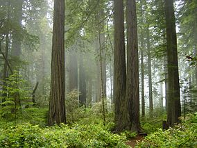 File:284px-Redwood National Park, fog in the forest.jpg