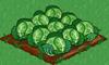 Cabbage 100