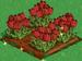 Red Tulip extra100