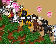 Black Stallion Foal