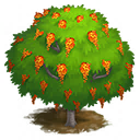 Cassia Moschata Tree