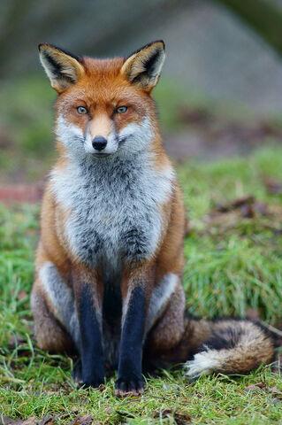 File:Red Fox (Vulpes vulpes),1758.jpg
