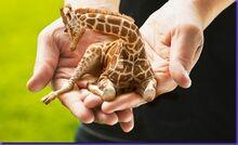 LapGiraffe thumb