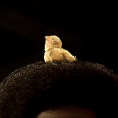 The chocobo chick living in Sazh's hair.
