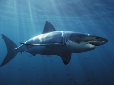 File:Great white shark 01.jpg