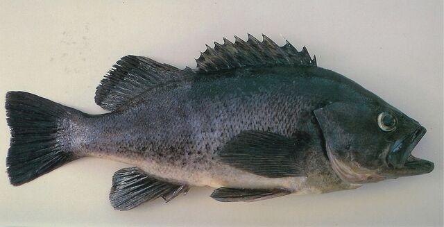 File:Black Sea Bass.jpg