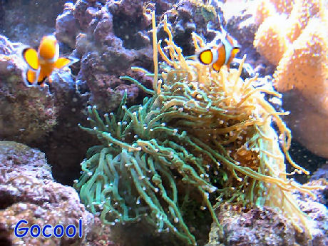 File:Clownfish In Anemone.Jpg