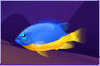 Azure Damselfish (2)