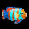 Harlequin Tuskfish (1)