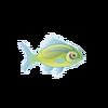 Hawaiian Hogfish (1)