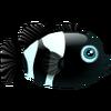 Black Percula (1)