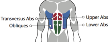Abdominal Muscles1