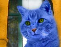File:Blue-cat1.jpg