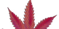 Cannabis: Cindarella