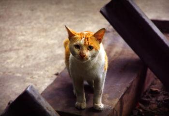 Orange-white-cat